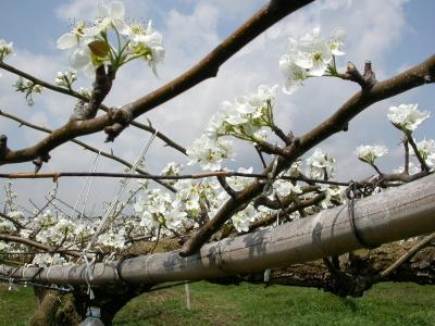 梨(新高)の花