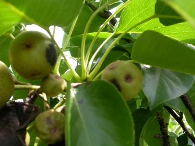 黒星病に感染した梨