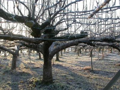 霜の降りた朝の梨畑