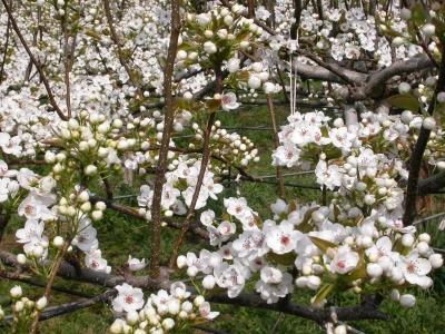 枝縛り前の梨の木