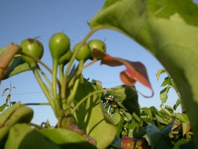 雹にやられた梨の実