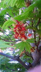 イタヤモミジの花