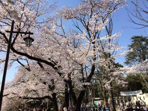 井の頭公園桜