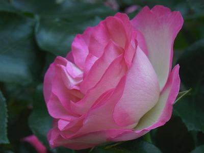 バラ祭り第2弾