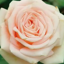 ピースのバラ.jpg