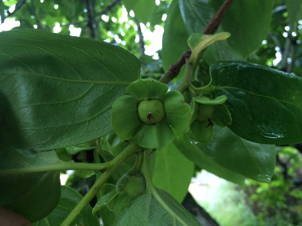 秋を待つ柿