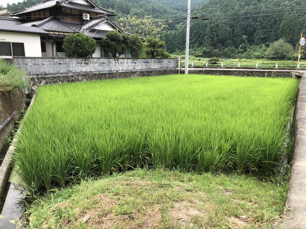 稲の成長田植えから11週間後
