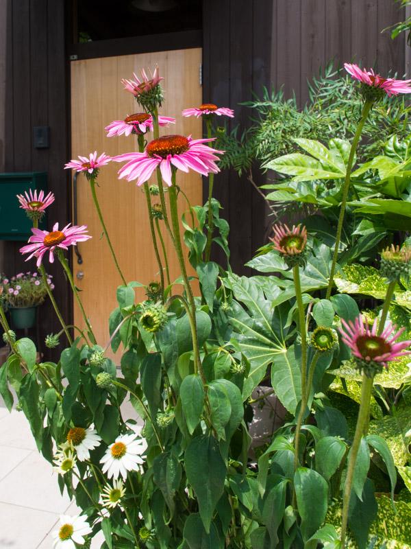 エキナセアの庭