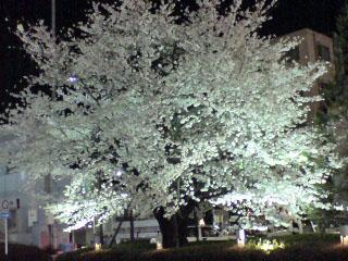 駅の桜.jpg