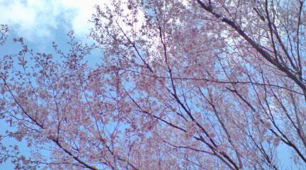染井吉野でない桜.jpg