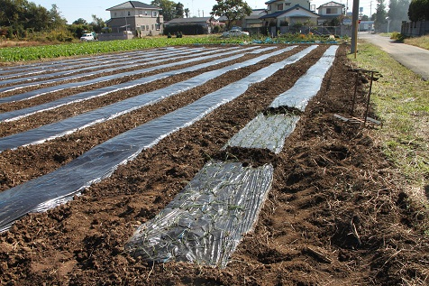 玉ねぎ植え2012