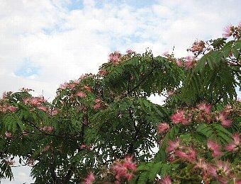 合歓の花2