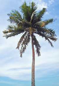 グアムの木。