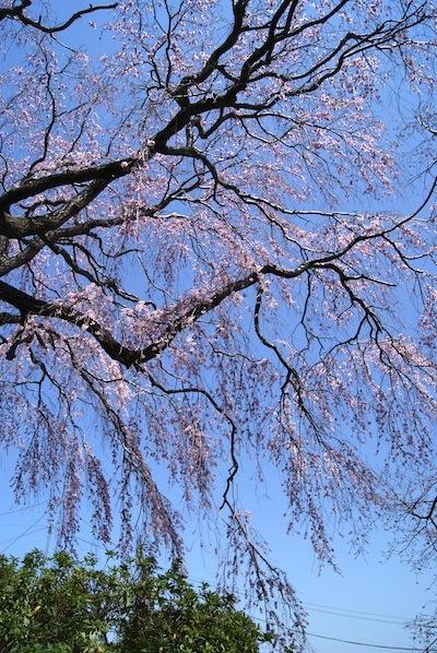 枝垂れ桜2012.4.5