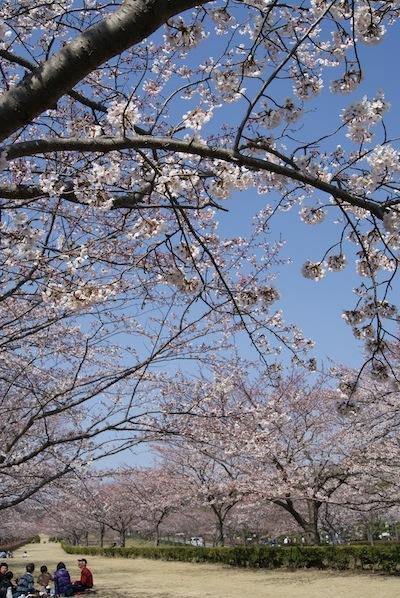 2012年鎌倉霊園の桜