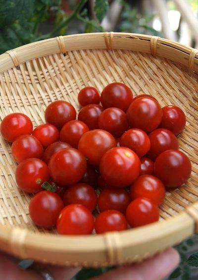 ベランダミニトマト