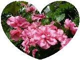 我が家の庭のバラ