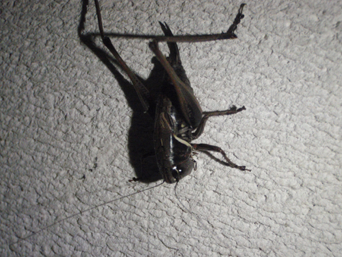 ヒメギス 幼虫