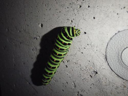 キアゲハ終齢幼虫