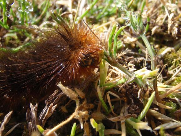 シロヒトリ 幼虫