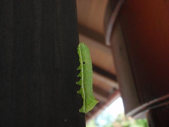 オオシマカラスヨトウ 幼虫