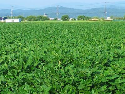 コウノトリ大豆