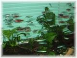 ささき矯正歯科待合室の熱帯魚