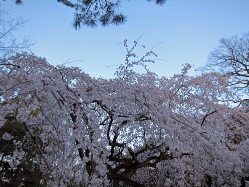 京都桜枝垂れ.jpg