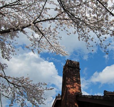 北区桜.jpg