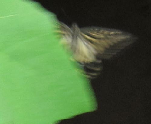 aあげは蝶アゲハチョウ.jpg