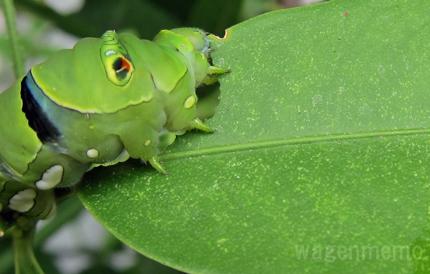 h葉を食む揚羽蝶幼虫.jpg