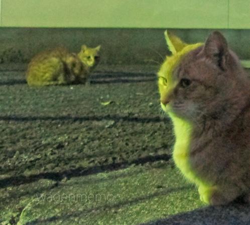 b猫 ねこ.jpg