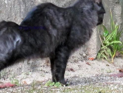 cネコ猫ねこ黒のび姿勢ねこち.jpg