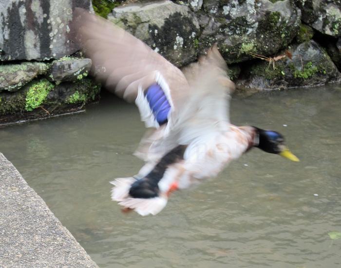 上賀茂景観鴨はばたき神湧水.jpg