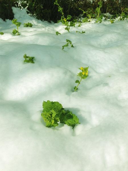 雪の中の菜の花
