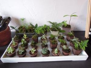 日陰植物の会 鉢植え