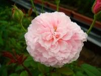 野バラ FlowerworksSEKIKAWA