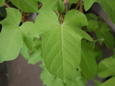 s-danjuro-leaf (3).jpg
