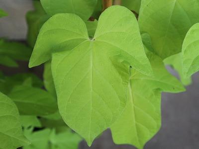 s-danjuro-leaf (4).jpg