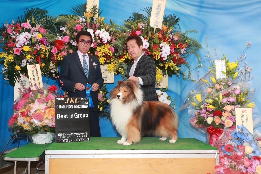 シェルティ ノゥボー JKC福岡サンシャインケネルクラブ展 G1獲得