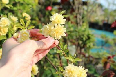 モッコウバラ 黄色 画像 グリーンランドエデン