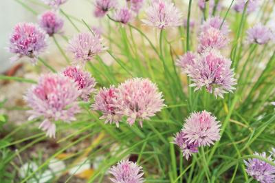 チャイブ ハーブの花画像