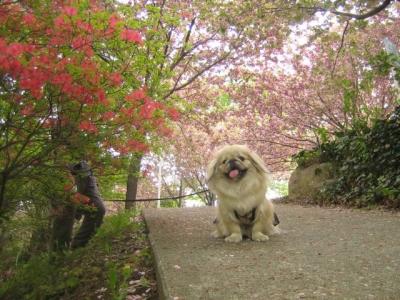 桜とツツジが一緒に咲いていたのだ♪