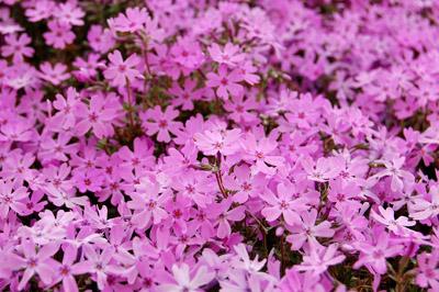 春の花/芝桜 - 無料写真素材
