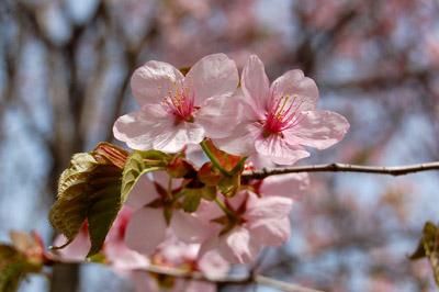 桜(サクラ) - 無料写真素材