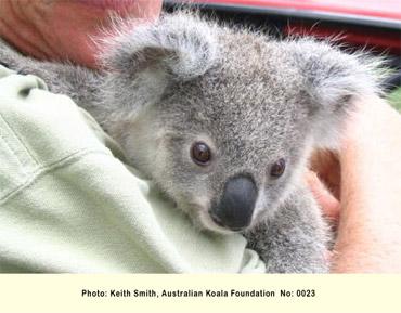 オーストラリアコアラ