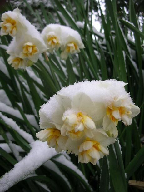 清澄庭園・雪・水仙