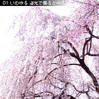 桜の撮り方 アイディア編