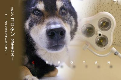 愛犬コロタン 病院