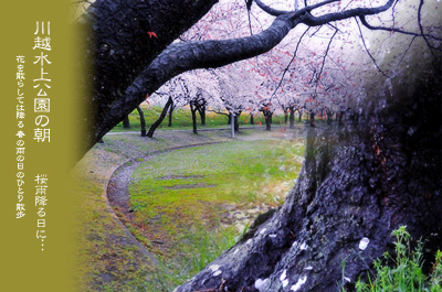 川越水上公園の桜1a